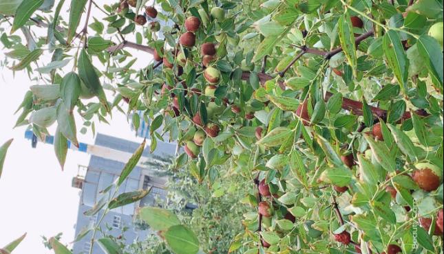 丰收的果实——鑫尔特的红枣